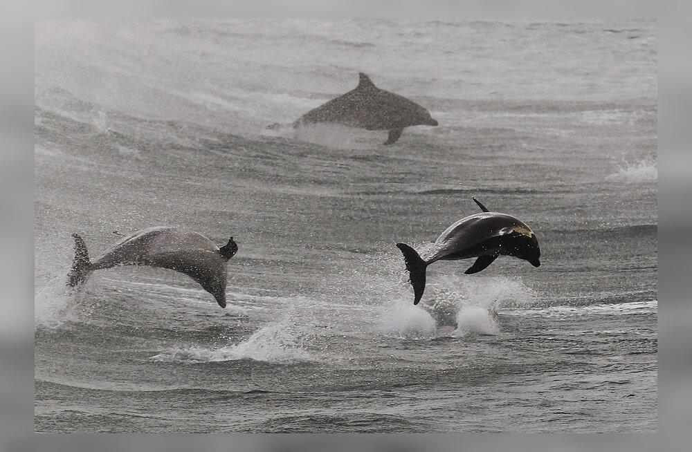 Lahesoppi lõksu jäänud delfiinid päästeti noorlooma hädahüüuga