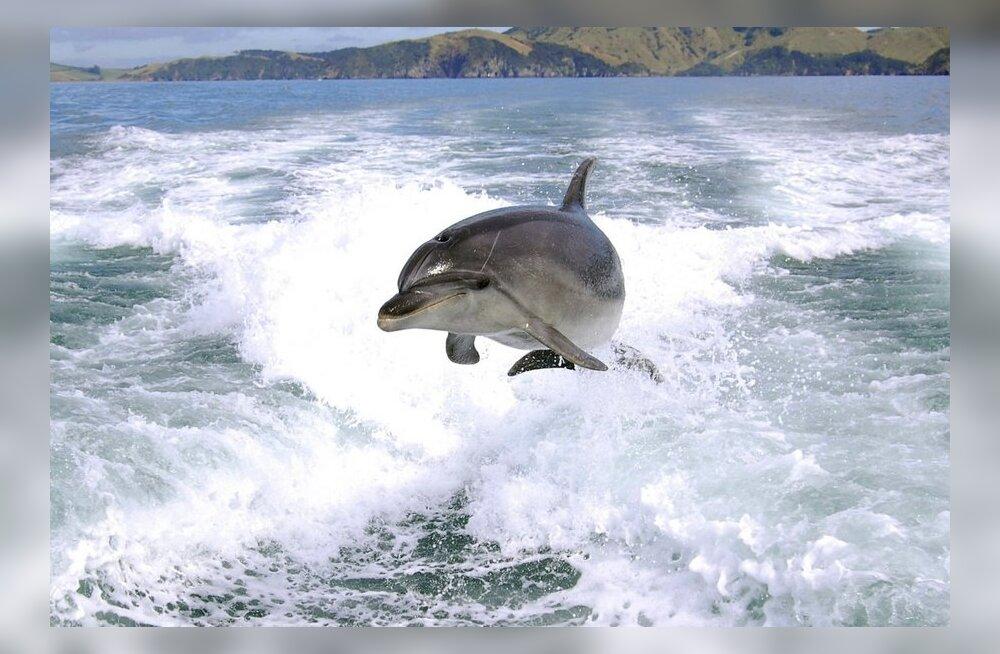 Kuidas töötab delfiinide kajalood?