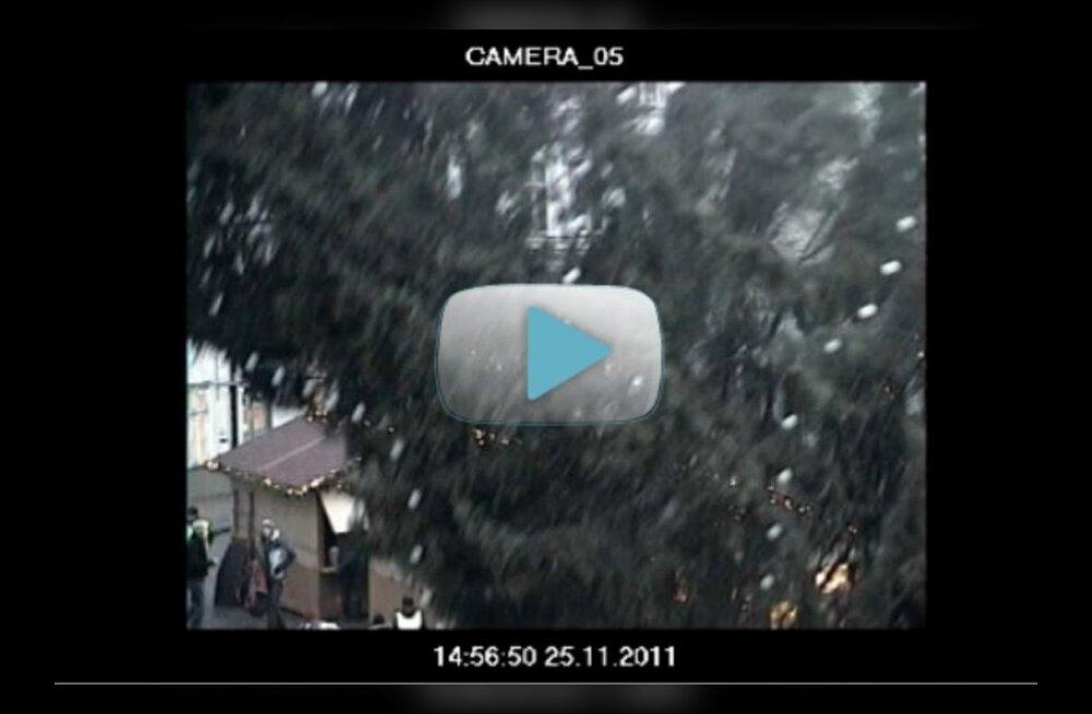 VIDEO: Vaata, kuidas kuusk Raekoja platsil pikali kukkus!