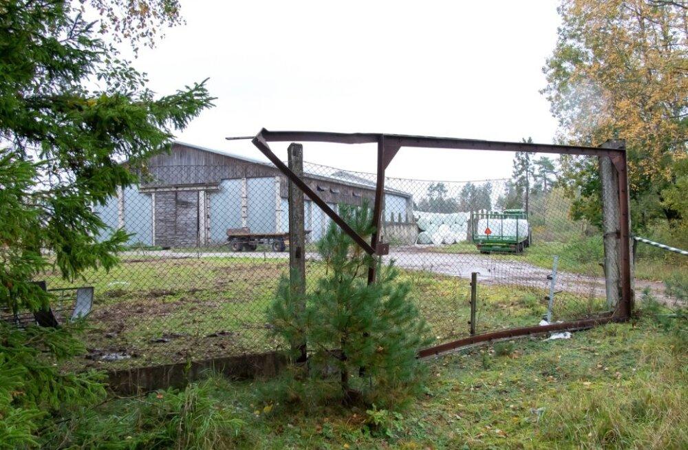 Ökoküla farm Lümanda, veis
