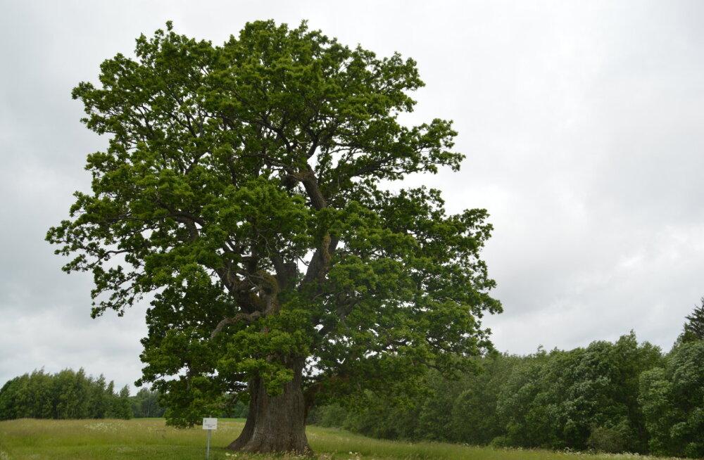 EESTI 100 AARET I Tamm, mis on elanud 700 aastat ja elab ka järgmised 700 aastat