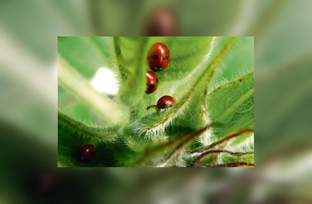Kui Arkna mõisas Polydome'i kasvuhoone plaan ellu läheks, hävitaksid seal kahjureid lepatriinud, mitte keemilised taimekaitsevahendid.