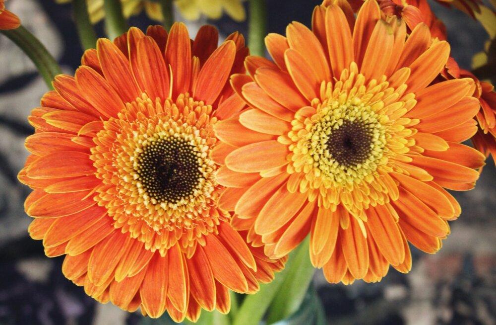 Nii lihtne! Lillemüüja avaldab geniaalse triki, mida kasutades püsivad lilled kaks korda kauem värskena