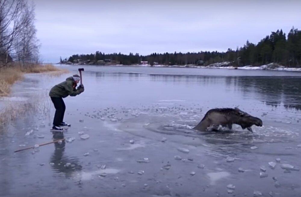 VIDEO: Heasüdamlik paar päästab Rootsis jääauku kukkunud paanikas põdra