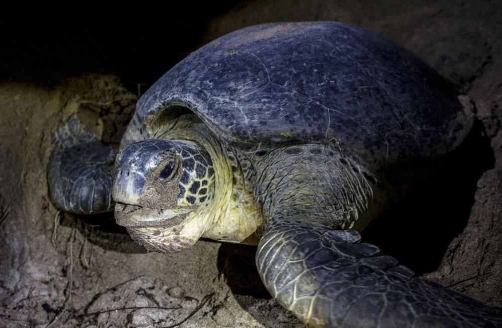 Teadlased uurisid merikilpkonnasid ning tuvastasid täiesti uue plastsaaste mõõtme