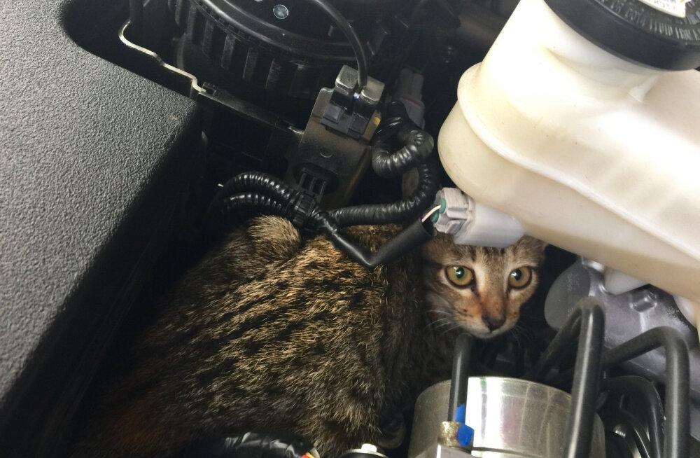 Eesti Loomakaitse Selts: kontrolli, et sinu auto all ei oleks külmetavat kassi!