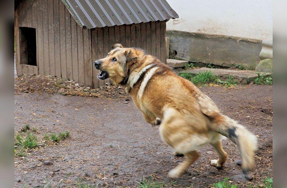 Mida teha, kui koer tuleb kallale?