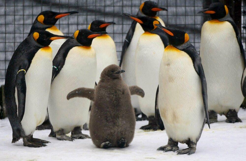 Kanadas Calgarys pööras ilm nii krõbekülmaks, et pingviinid toodi loomaaias õuest tuppa sooja