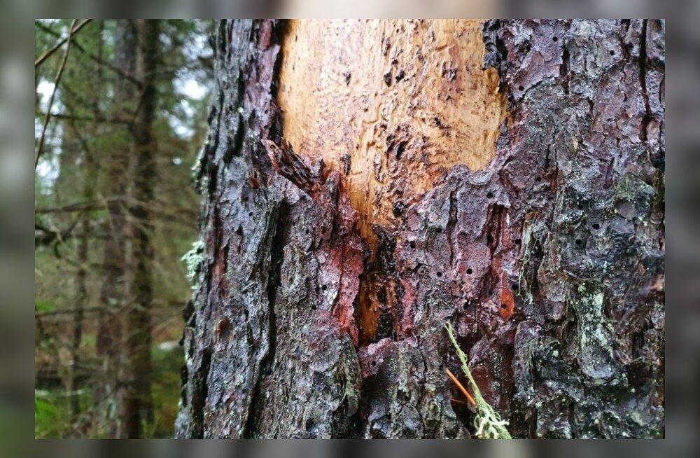 Üraskikahjustused Kabala metsades