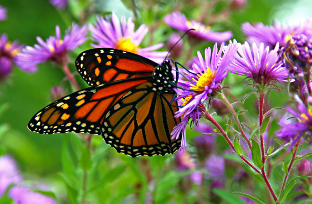 Anu Parts: Mis on monarhliblikate kummalise rände mõte? Mis on koolitunni ja õpetamise mõte? Õpetajate arengust
