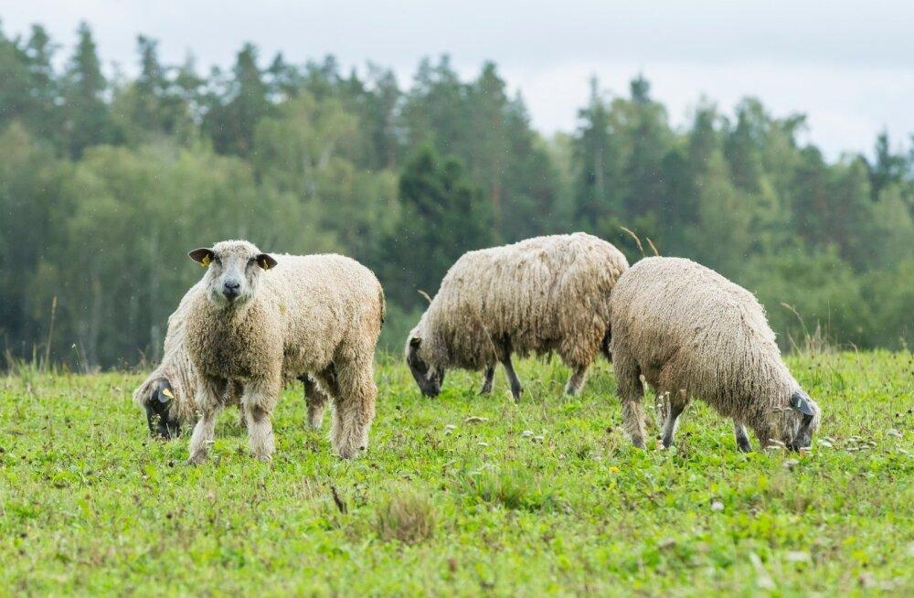 Prantsusmaal leiti õpilaste nappuse vastu kaval nipp: koolis võivad käia ka lambad