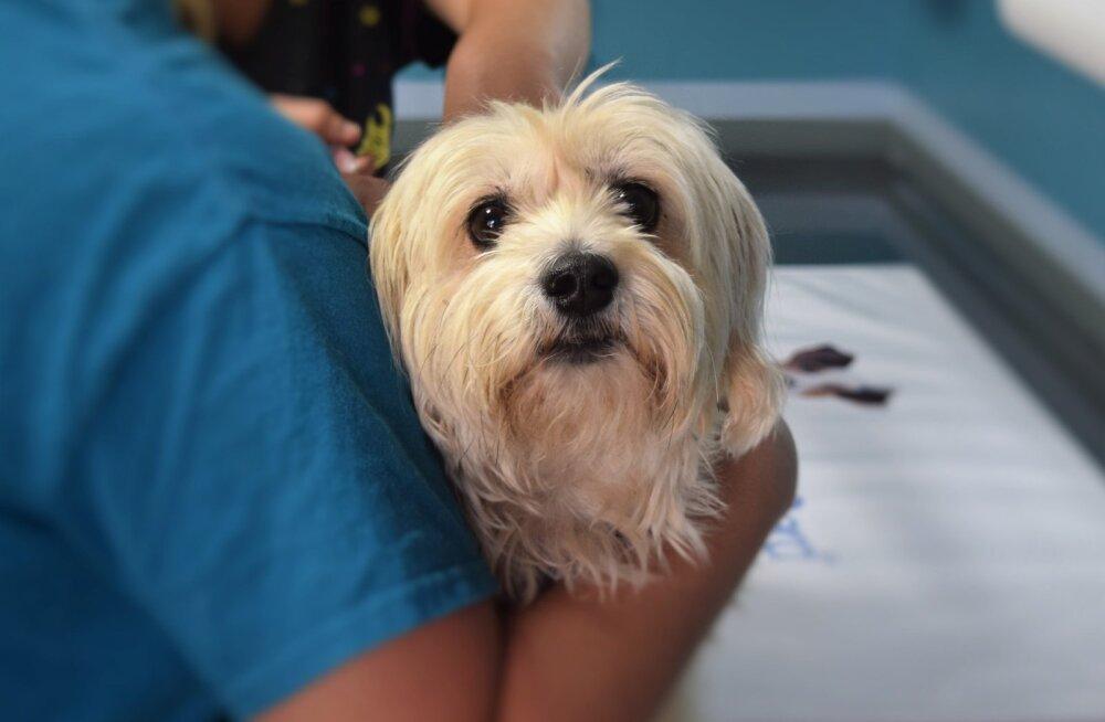 Paaniline hirm loomaarsti ees: miks kardab koer kliinikut isegi siis, kui talle pole seal midagi halba tehtud? Mida teha?