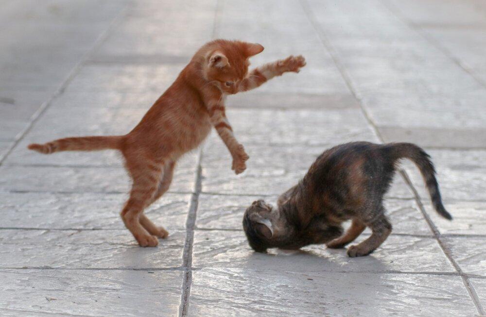 Kuidas teha vahet, kas mu kassid mängivad või kaklevad?