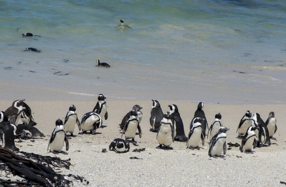 FOTOD: Kaplinna külje all elavad rannapuhkust jumaldavad pingviinid