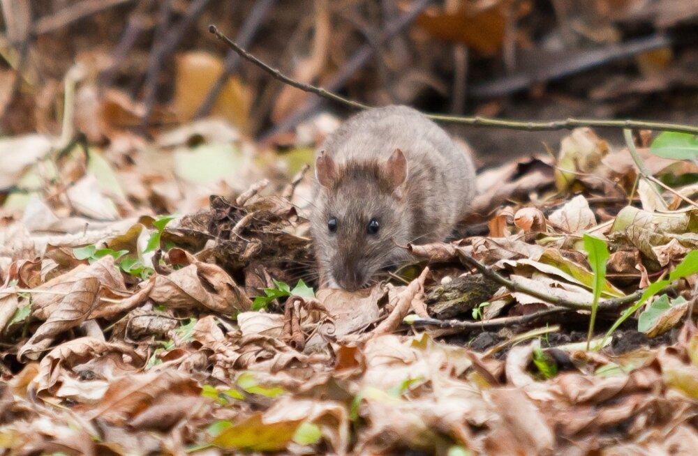 Kui sula maad katab paks lumi, on hiirtel ja rottidel pidu.