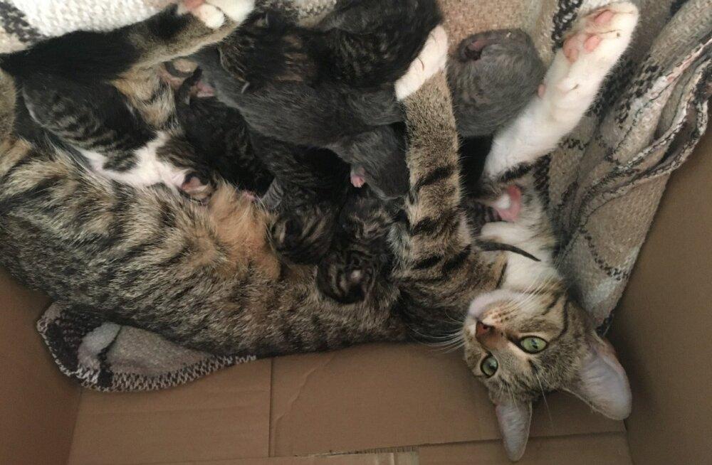 Armsad kiisud otsivad kodu! Karantiini ajal ootamatult tiineks jäänud kass sai 10 kassipoega
