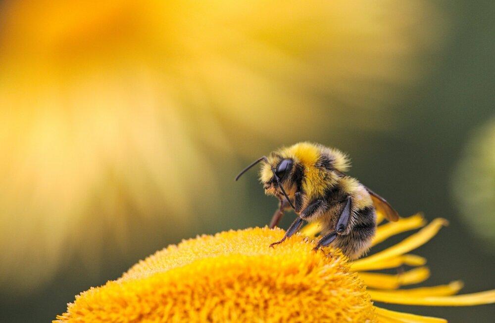 Äärmuslikud ilmastikutingimused ohustavad mesilasi ja teisi tolmeldajaid