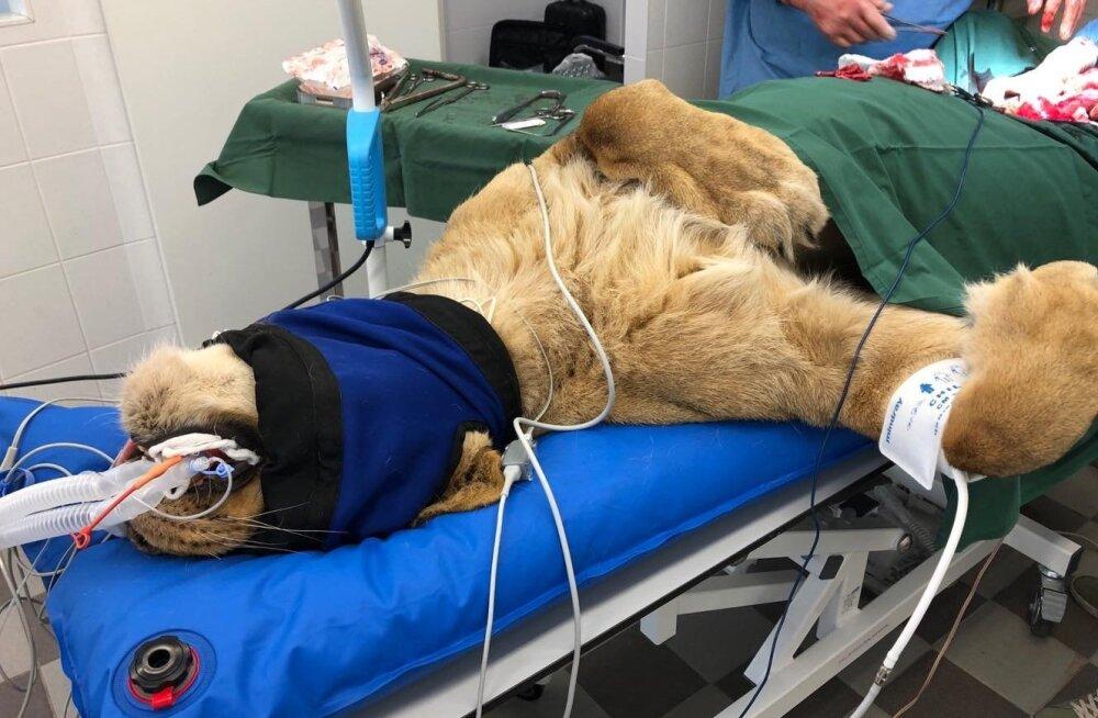 ФОТО: Львица из Таллиннского зоопарка оказалась на операционном столе из-за воспаления