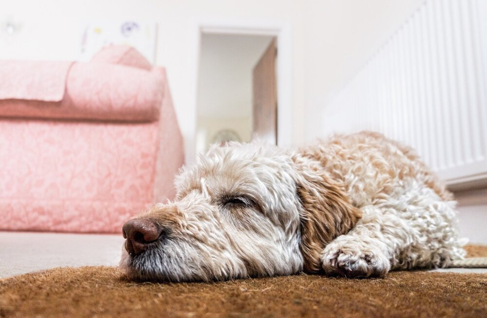 Koer magab poole oma elust lihtsalt maha: kuidas see talle mõjub?