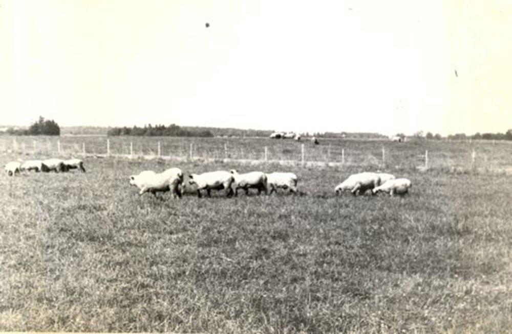 Helmuti patsiendid: Aravete kolhoosi lambakari 1975 aastal.