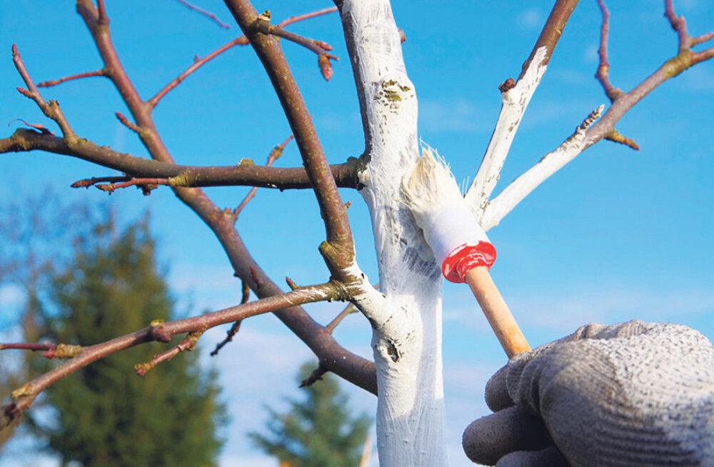 LUGEJA KÜSIB   Kas ja miks peaks viljapuude tüvesid valgendama?