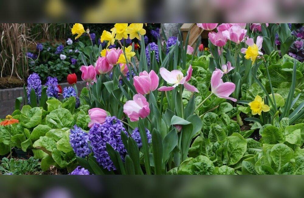 Lillesibulate istutus alaku!