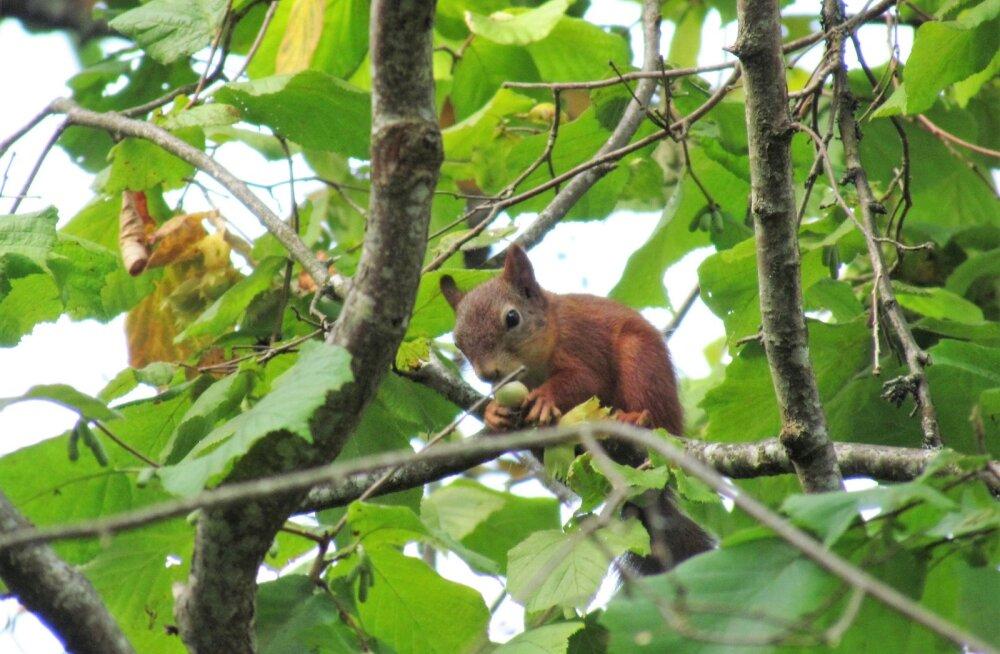 Leili metsalood | Hea pähkliaasta