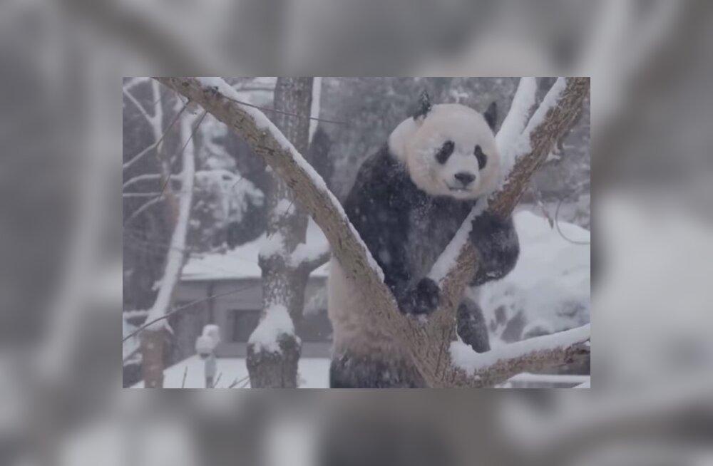 Naljakas VIDEO | Pandadele põhjustas tihe lumetuisk palju nalja