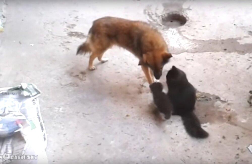 Liigutav sõprusside: kassiema viib oma väikesed pojad vana hea sõbra juurde näitamiseks, sõbra reaktsioon on liigutav