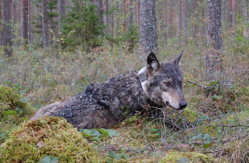 Meeldetuletus jahimeestele   jaht telemeetriseadmega huntidele ja nende gruppidele on keelatud