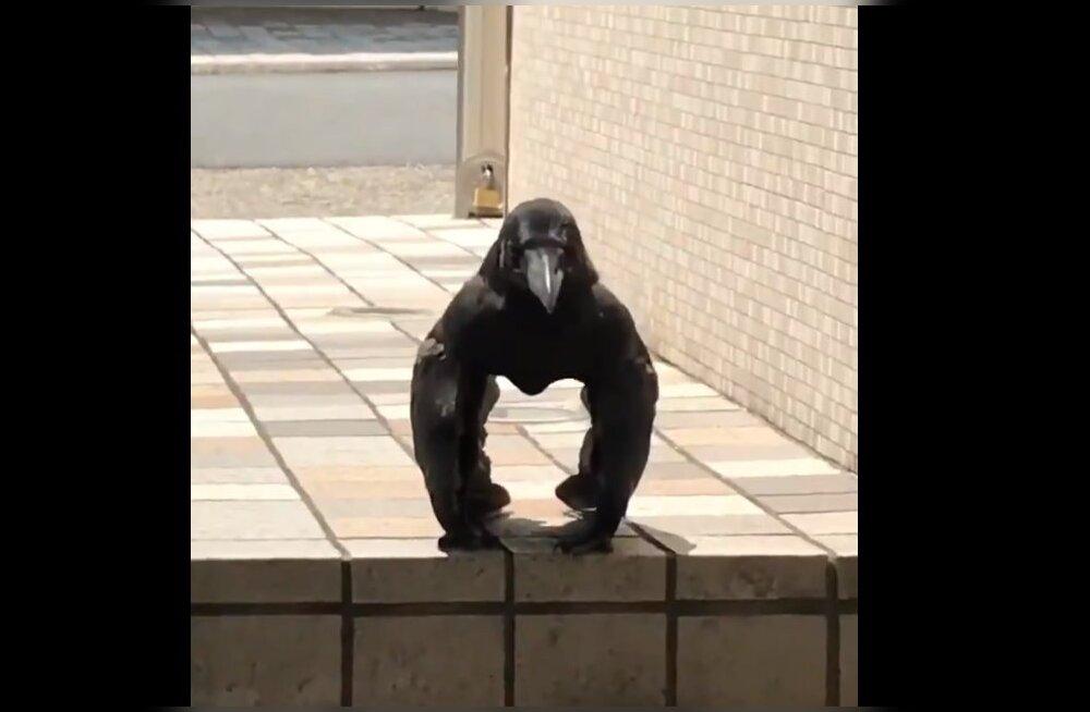 HITTVIDEO | Inimesed sattusid hämmingusse varesest, kes näeb välja täpselt nagu gorilla