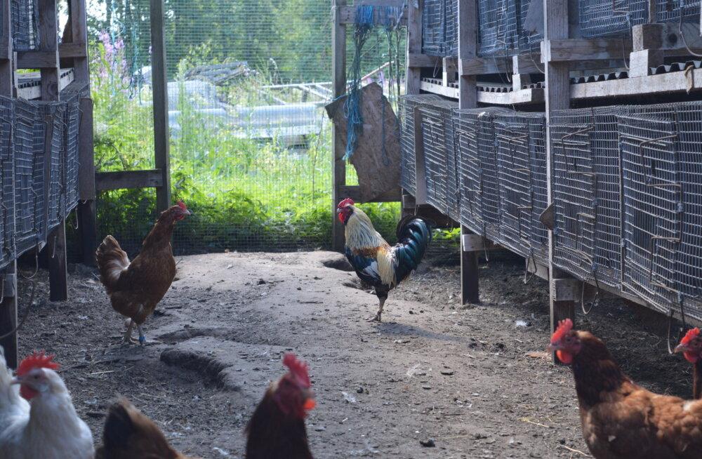 Vana-Sirge küülikutalus osutusid kanad ja kukk küülikutest populaarsemaks.