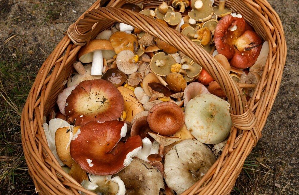Tavaline seeneline punast kärbseseent endale targu korvi ei pista ning piirdub riisikate ja pilvikutega.