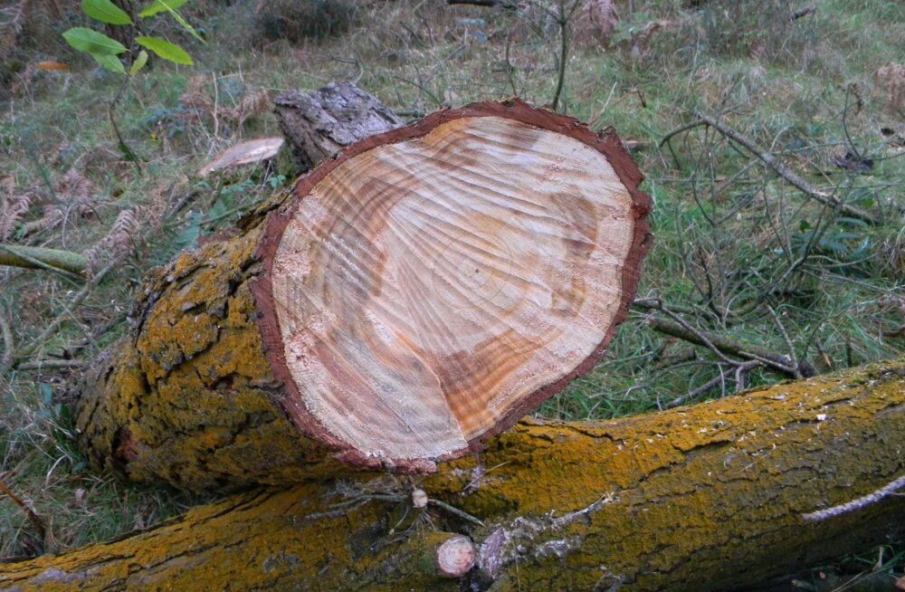 Fusarium circinatum'i nime kandva seenpatogeeni kahjustus kiirja männi puidul.