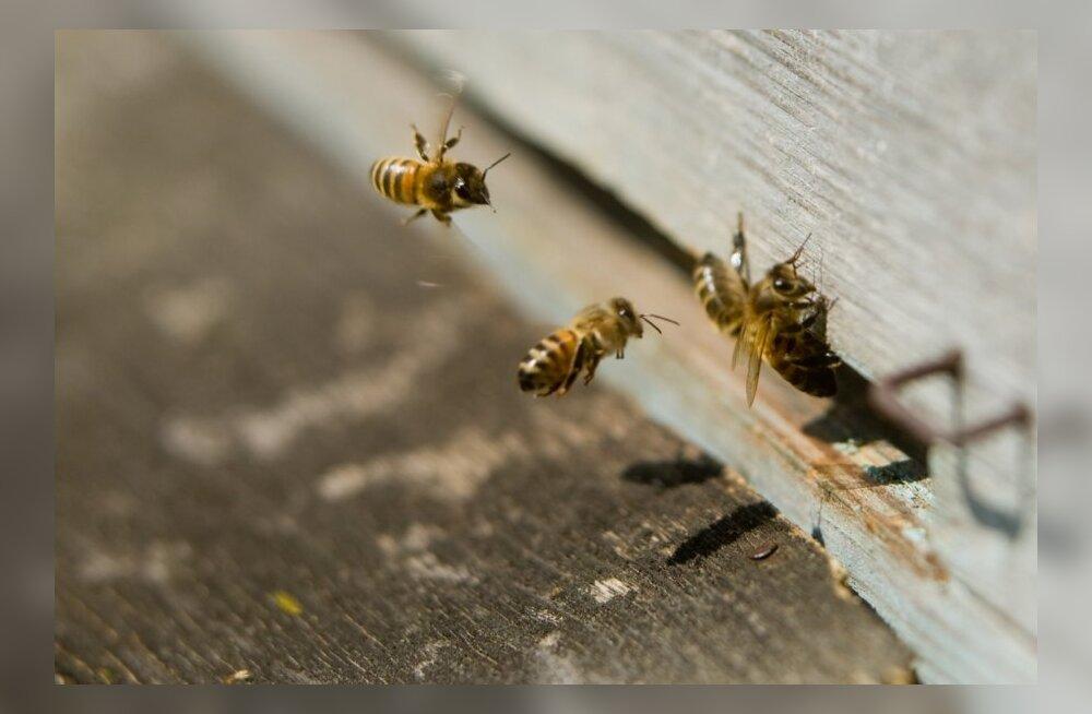 Suurmesinikult varastati mesitaru koos mesilastega