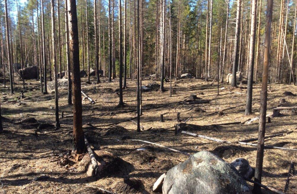 Põlenud mets on Soome kõige haruldasem looduslik elupaik. Seetõttu tekitatakse neid kunstlikult juurde.