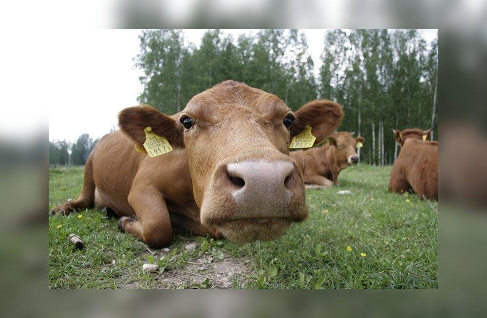 ETK: piima hinna tõus kaitseb kohaliku tootja huve