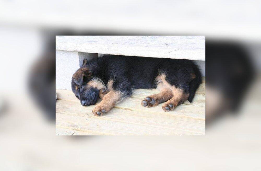 Tõmblev koer - uni või haigus?