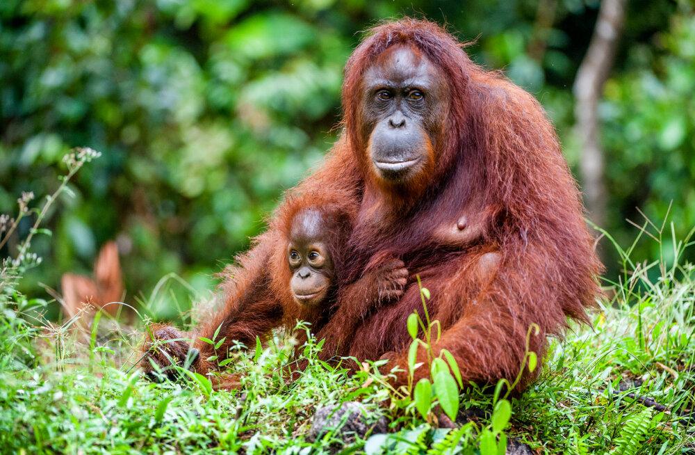 Borneo orangutanide arv on ehmatavalt kiiresti vähenenud