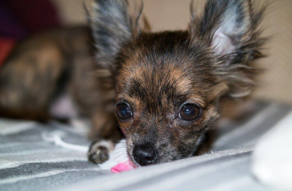 Siiras lugu | Suurlinna tänavalt leiti tiine ja õnnetu chihuahua, kel puudus kodu, kuhu varjuda
