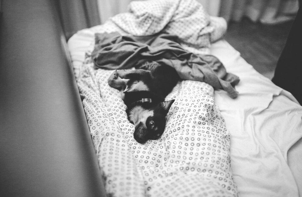 EKSPERT VÄIDAB   Oma lemmikuga voodi jagamine võib tõsiselt ohustada sinu tervist!