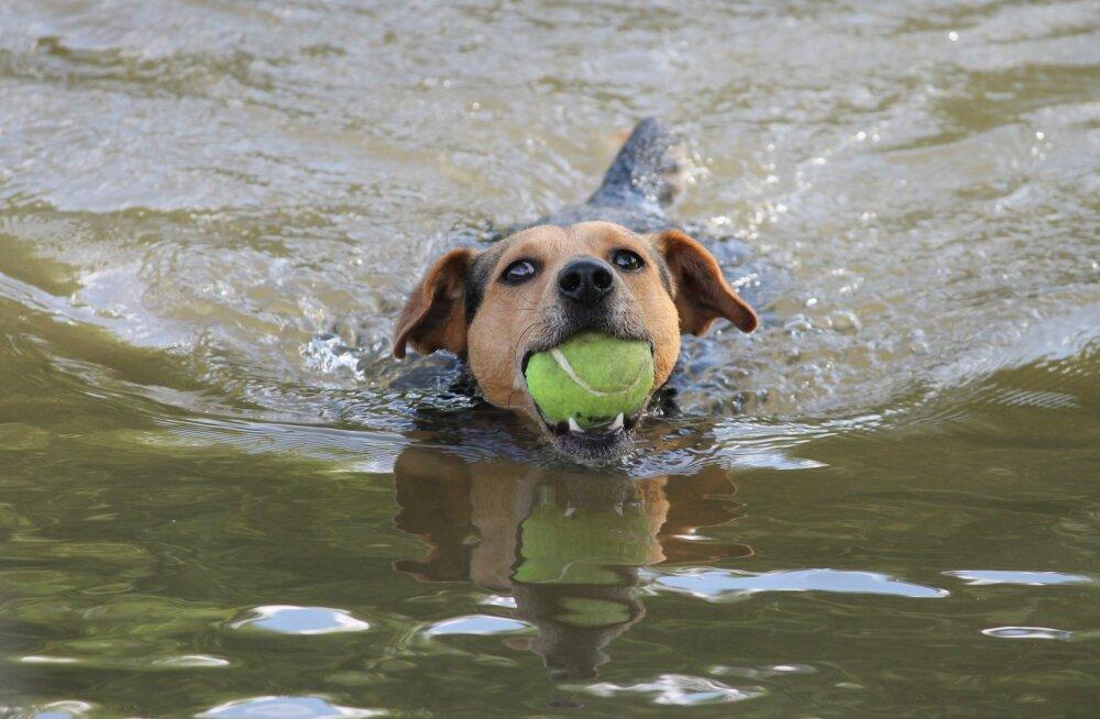 Hoiatus! Sinivetikas on koerale veel ohtlikum kui inimesele