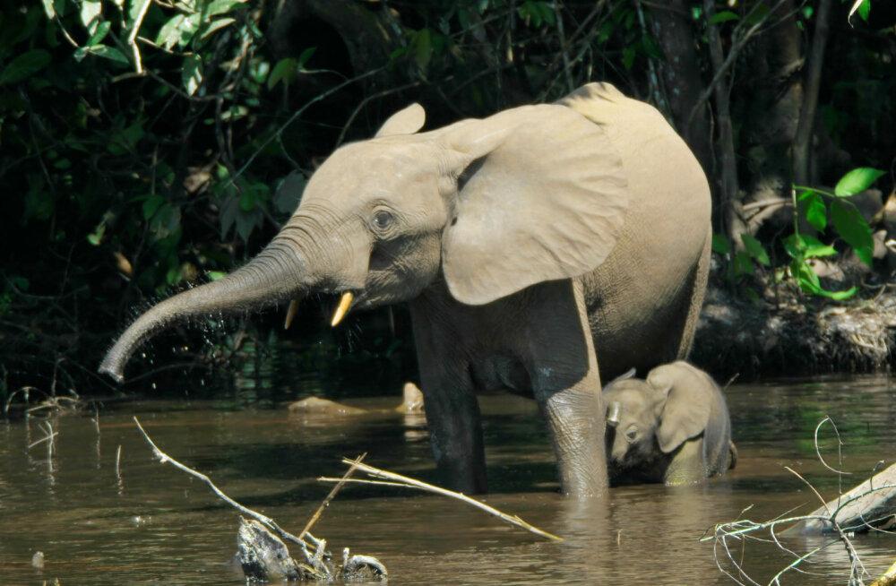 Leidis kinnitust, et maailmas elab kolmaski liik elevante