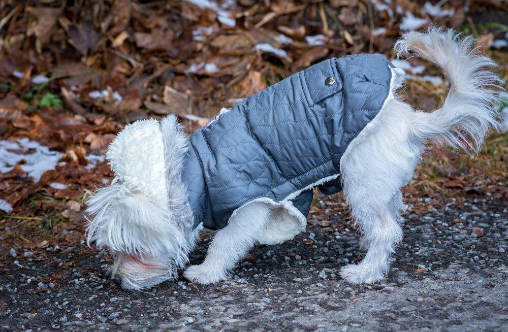 KUI MINU KOER | Mida teha, kui koer saab sügisel õuest pisiku?