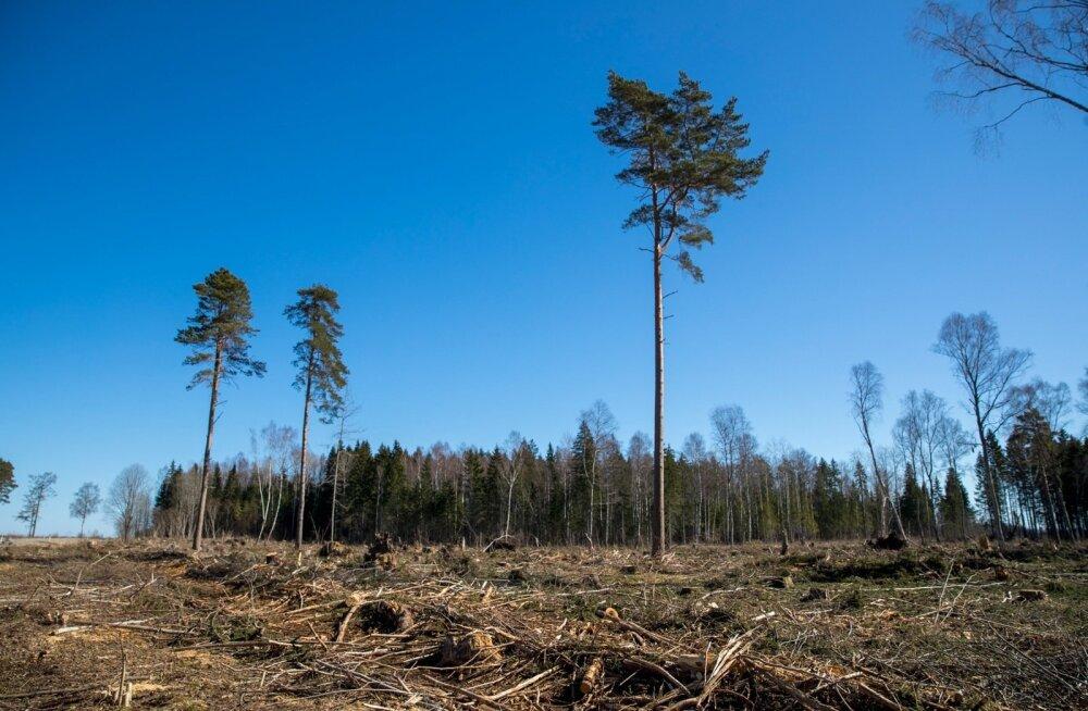 Lageraielank võib ületada 7 hektarit juhul, kui raie jääb ühe metsaeraldise piiresse.