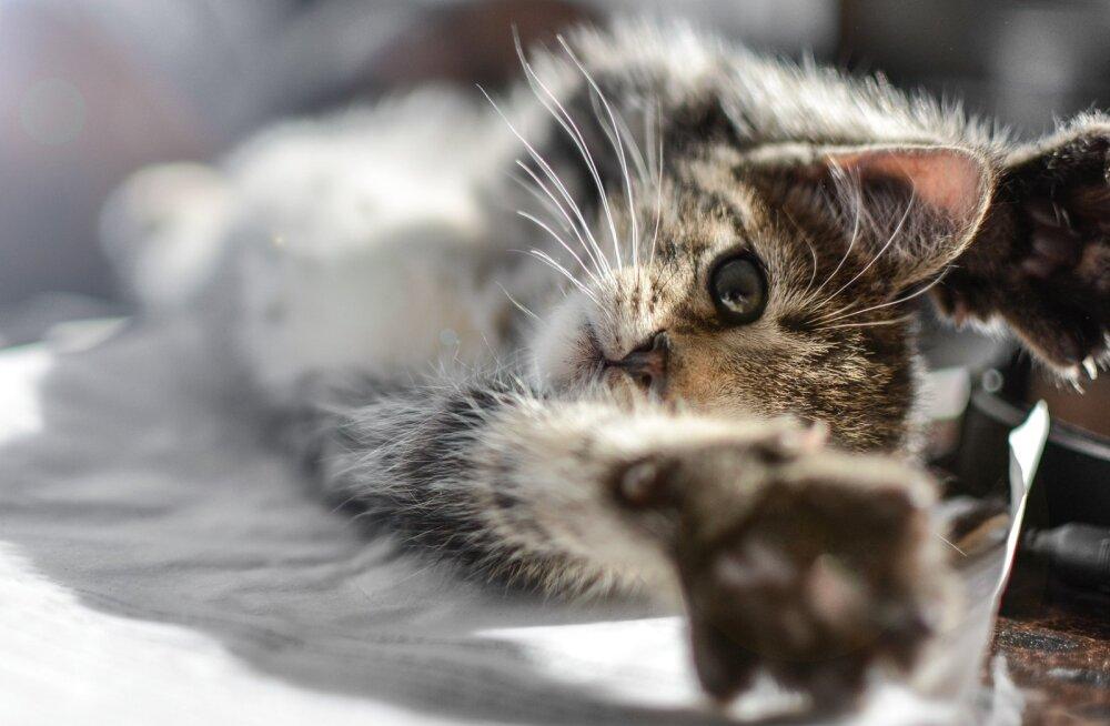 Salakaval viirus niitis kassipoja jalust: lemmik kaotas söögiisu, kõndis paar sammu ja kukkus peaga vastu maad