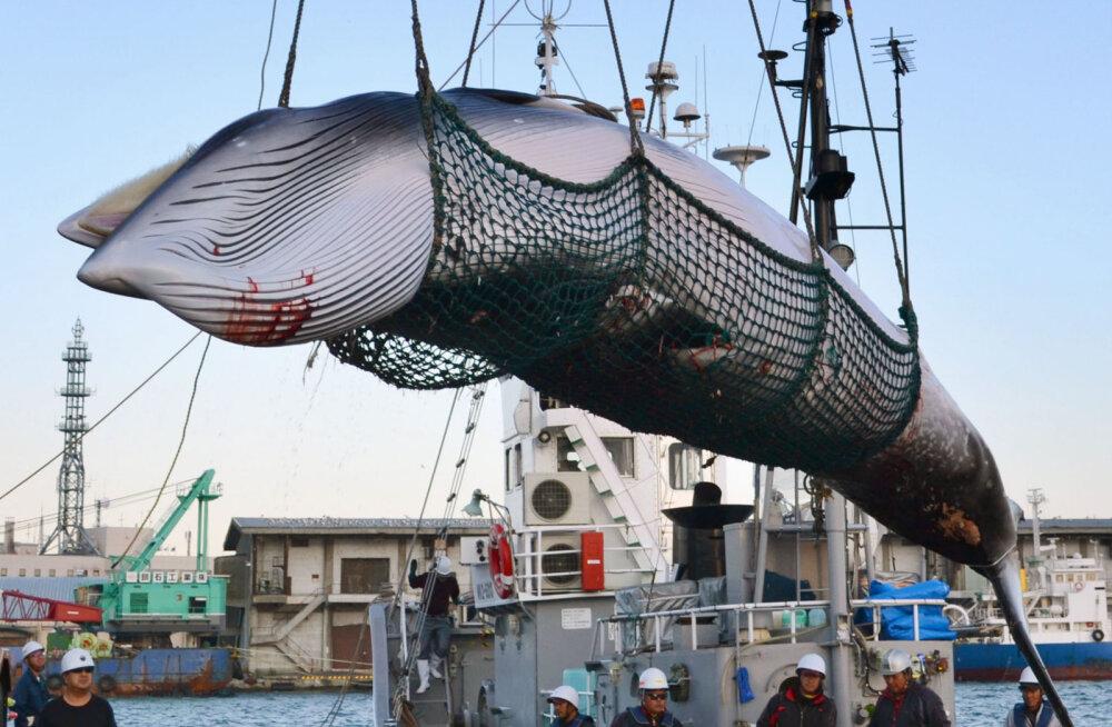 Jaapanlased otsustasid, et hakkavad taas tegelema vaalapüügiga