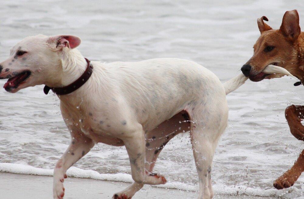 5 põhjust, miks koerad oma saba taga ajavad: see ei ole alati süütu nali
