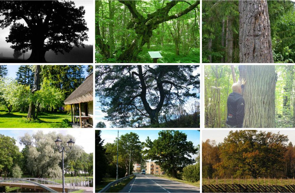 VAATA ja HÄÄLETA: Eesti aasta puu konkursi 12 kandidaati