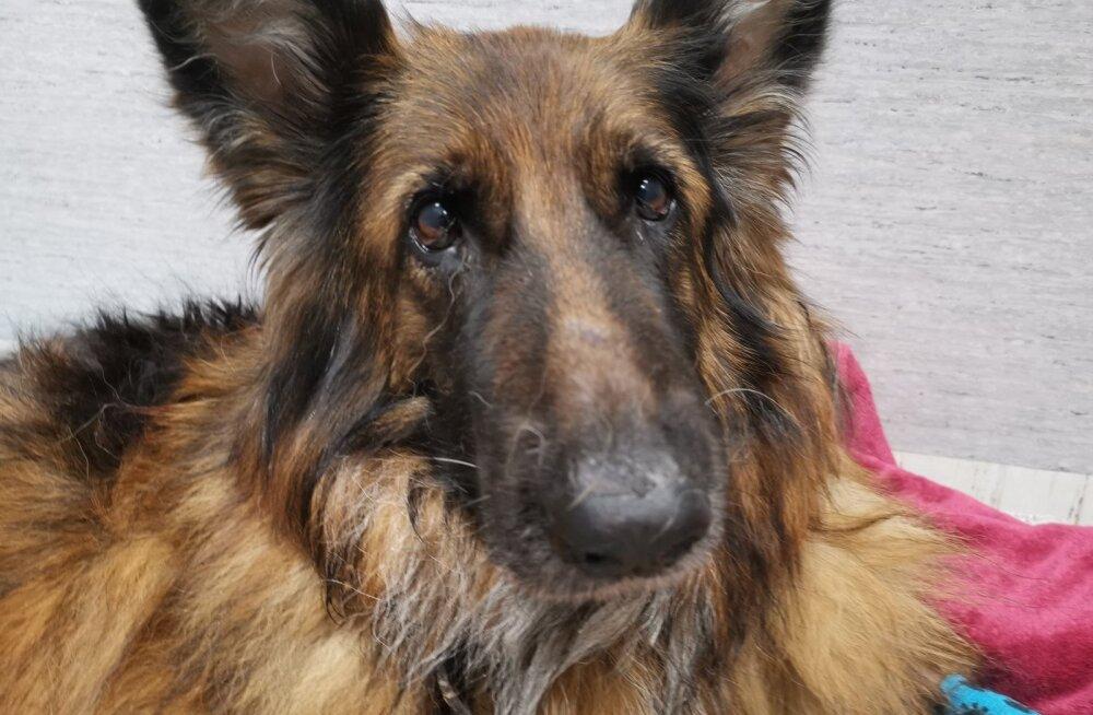 Пострадавшая в тяжелой аварии в Ласнамяэ собака Арина пошла на поправку!